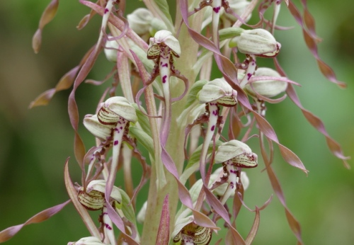 Lizard Orchid Drayton 2015-06-23_10