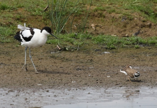 Avocet and Little Ringed Plover 1