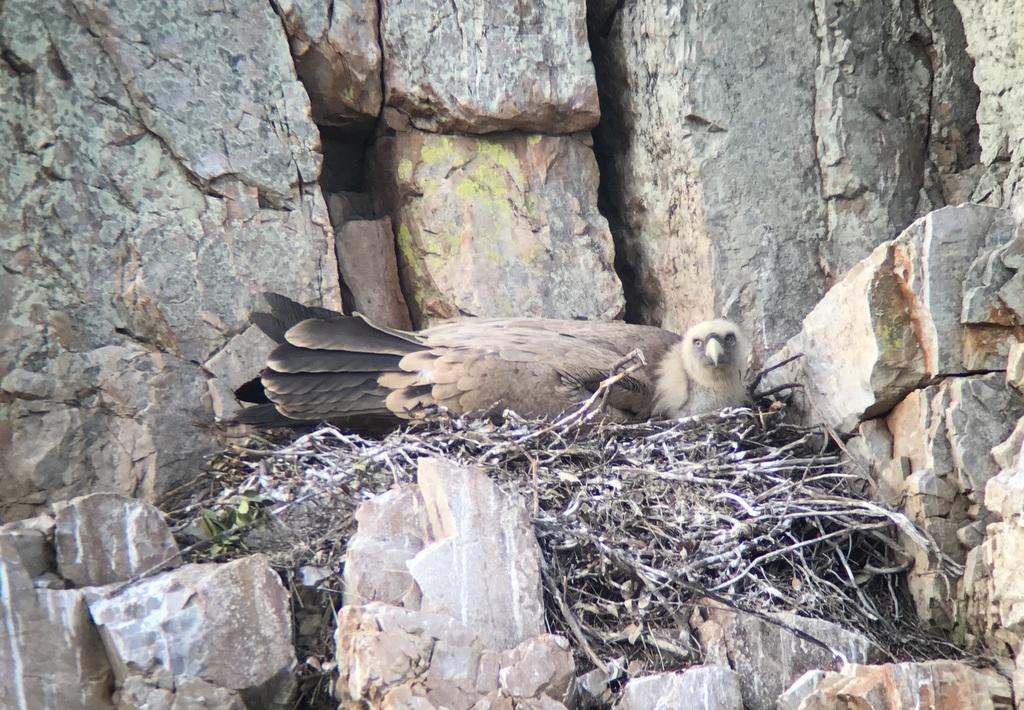 Griffon Vulture 6