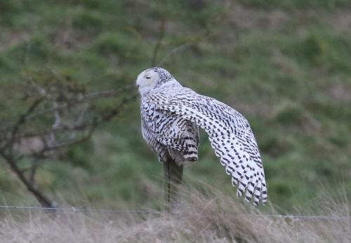 Snow Owl 8