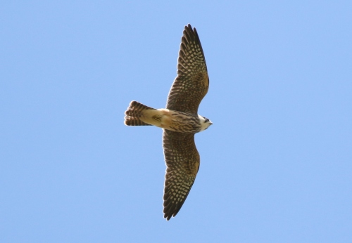 Red-footed Falcon 2