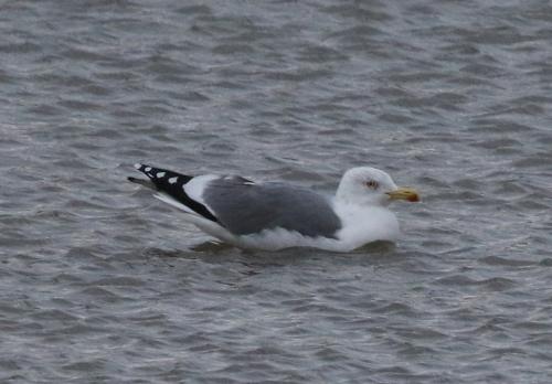Lesser Black-backed x Herring Gull hybrid