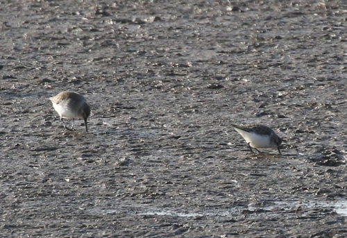 Little Stint and Dunlin